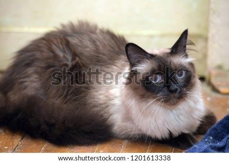 a beautiful Neva Masquerade cat. It is a subspecies of the Siberian cat. #1201613338