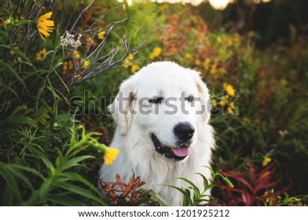 Profile Portrait of gorgeous maremma sheepdog at sunset. Close-up of Big white fluffy dog breed maremmano abruzzese shepherd sitting in the bright flowers and grass in the forest in autumn #1201925212