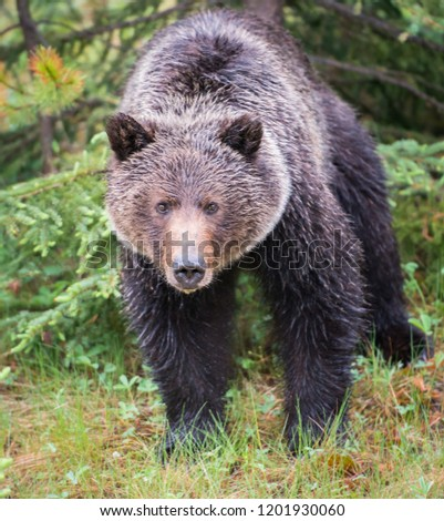 Grizzly bear in the wild #1201930060
