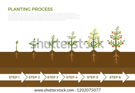 Vector infographic of plant growth stages. Tree with green leaf growing out of ground. Illustration of planting vegetables and fruits. #1202075077
