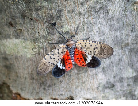 Top view of spotted lanternfly, Chester County, Pennsylvania #1202078644