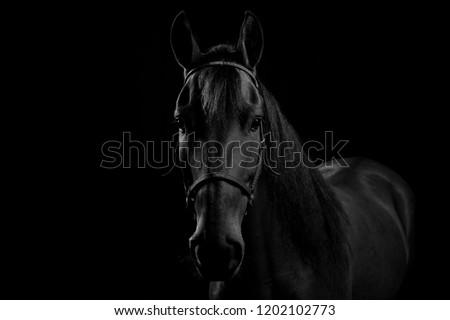 Portrait of Colombian Creole horse, in studio