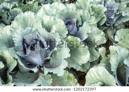 Red Cabbage Field #1202172397