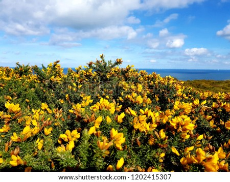 Yellow Gorse flowers along the British coastline #1202415307
