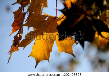Golden maple leaves with touches of sunshine against blue sky background #1202428828
