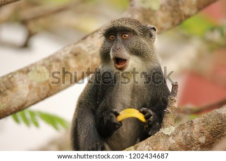 The sykes monkey seems to be surprised #1202434687