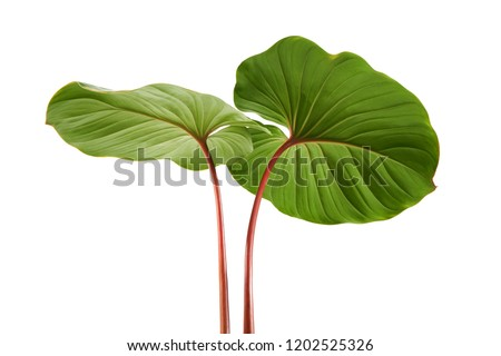 Homalomena foliage, Green leaf with red petioles isolated on white background, with clipping path                              #1202525326