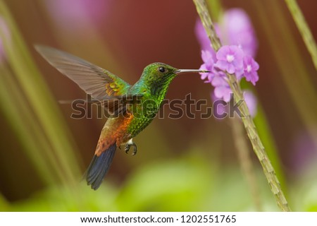 Close up, shining green, caribbean hummingbird with coppery colored wings and tail, Copper-rumped Hummingbird, Amazilia tobaci hovering and feeding from violet verbena flower. Trinidad and Tobago.