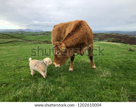 Cow and dog. Cow meets dog. Lakeland Terrier. #1202610004