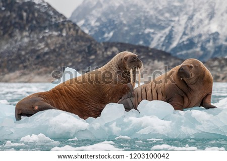 Walrus and her pup floating on ice in a fjord , Eastern Greenland. #1203100042