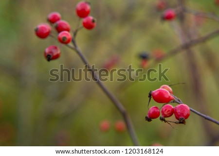 red berries of wild rose on a green blurred background #1203168124