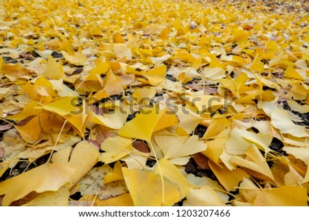 Many Yellow Ginko leaf on the floor in foreground, focus on ginko leave on asphalt road background.  #1203207466