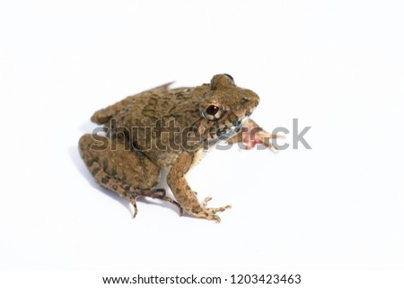 Rice field frog, Fejervarya limnocharis, amphibian in tropical region,is a species of frog found widely distributed in South Asia wildlife in south east Asia #1203423463