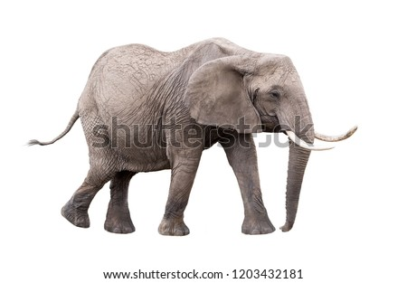 Photo of adult African Elephant facing side walking. Isolated on white background.
