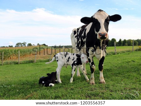 Holstein cow and twin calves Royalty-Free Stock Photo #1203556357