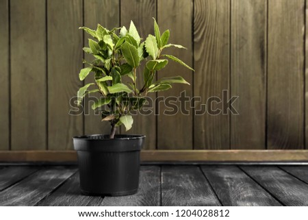 Pot with laurel tree on wooden table #1204028812