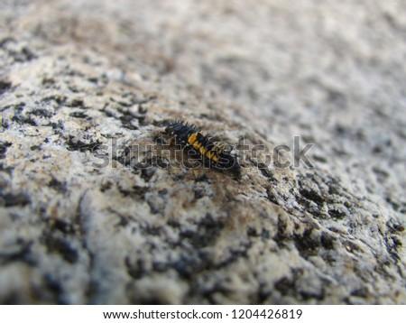 A harlequin ladybug larvae on a rock #1204426819
