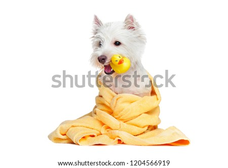 White dog after bathing holding rubber duck in the mouth #1204566919