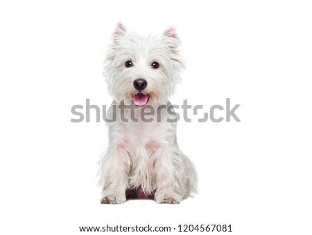 Front view portrait of a sitting west highland terrier #1204567081