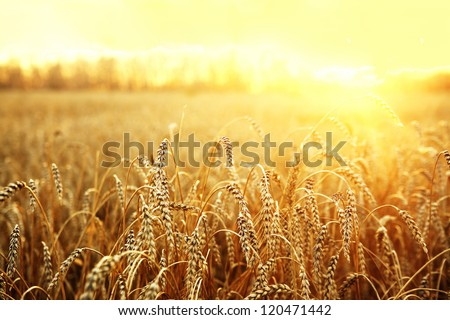 backdrop of ripening ears of yellow wheat field on the sunset cloudy orange sky background Copy space of the setting sun rays on horizon in rural meadow Close up nature photo  Idea of a rich harvest #120471442