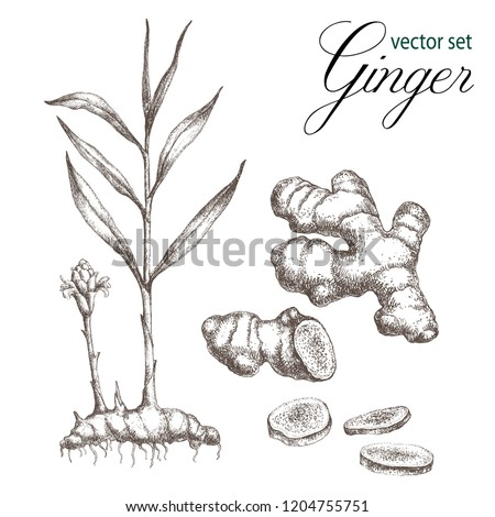 Realistic detailed  illustration of ginger . Botanical drawing. Sketsh hand drawn. Design elements for postcards, ads, promotional invitations, medical markets and vegetarian cafe. Royalty-Free Stock Photo #1204755751