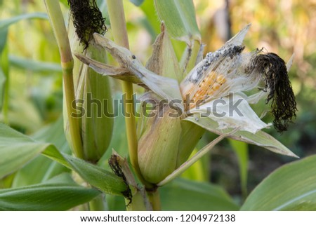 Pollen on corn on fruit. #1204972138