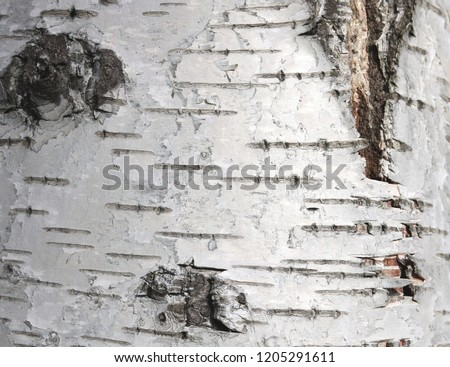 pattern of birch bark with black birch stripes on white birch bark and with wooden birch bark texture #1205291611