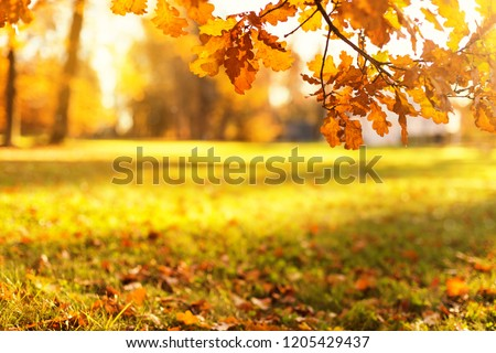 Golden oak leaves of trees at colorful autumn park background, copy space and mockup. Focus on foliage #1205429437