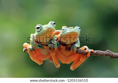 Javan tree frog sitting on branch, flying frog on branch #1205536510
