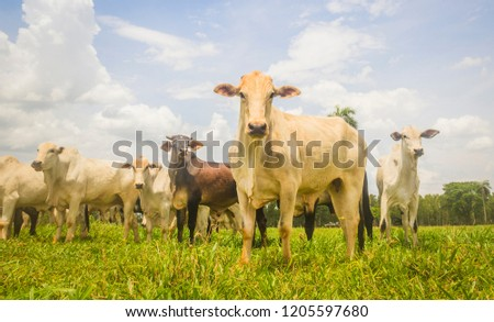 Herd of Nelore cattle from Brazil in the pasture of the farm. Concept of livestock, beef cattle #1205597680