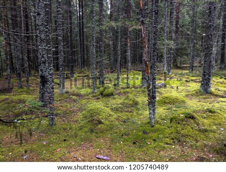 Mossy forest trees background. Forest trees moss wilderness view. Autumn moss forest trees landscape. Moss forest trees in karelia backwoods #1205740489