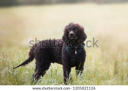Water Spaniel in an open field.  Royalty-Free Stock Photo #1205821126