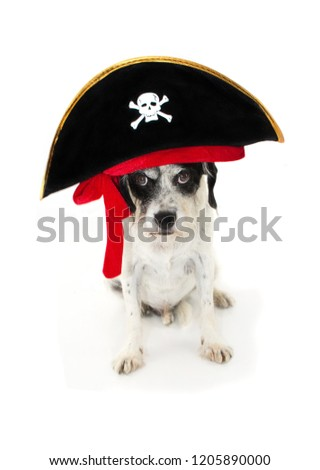 FUNNY HALLOWEEN, CARNIVAL, MARDI GRAS DOG PIRATE COSTUME ISOLATED AGAINST WHITE BACKGROUND
