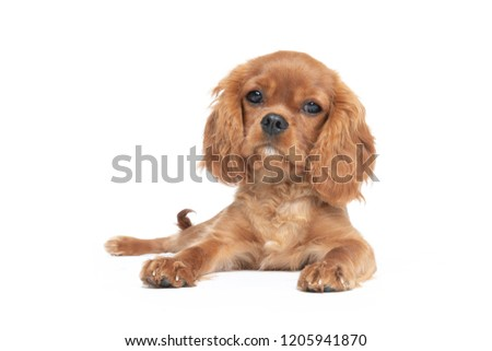 Cute dog, cavalier spaniel puppy, isolated on white background #1205941870
