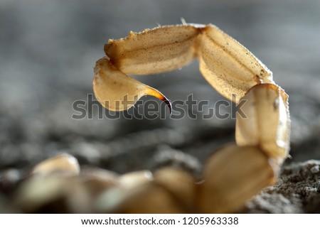 Scorpion, Buthus occitanus, yellow scorpion, sting #1205963338