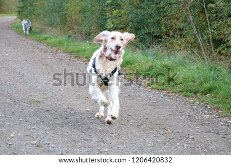 Opal the English Setter out for a run. #1206420832