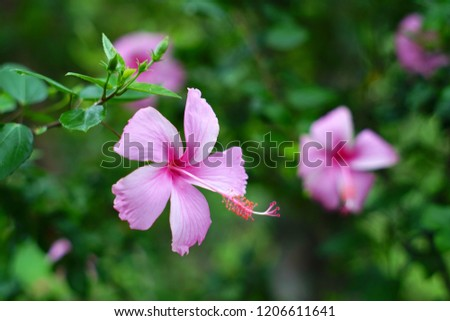 Close up Hibiscus Flower. Pink Hibiscus flower. Hibiscus flower on natural bokeh background. #1206611641