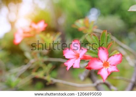 Pink Azalea flowers in the summer garden with rays of sunlight. #1206695050