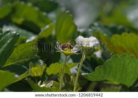strawberry flowers in the garden #1206819442