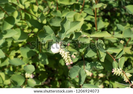 Close shot of berries and flowers of common snowberry #1206924073