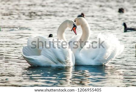 Two white swans heart water scene. White swans love scene. True love two swans. White swan love view #1206955405