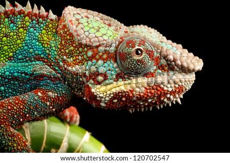 Close shot of a Chameleon on a black background #120702547