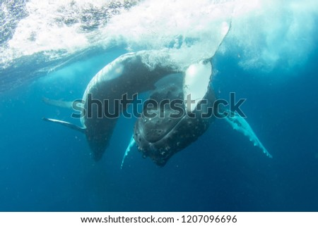 humpback whale calf playing with swimmers #1207096696