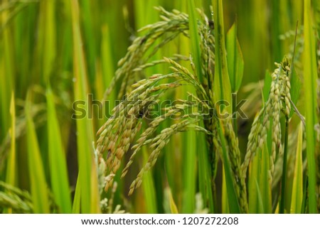 Rice field. Closeup of yellow paddy rice field with green leaf in autumn. Royalty high-quality free stock image of beautiful close up of organic rice fields or paddy field prepare the harvest #1207272208