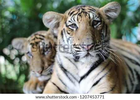 Little Tiger animal nature cute  #1207453771
