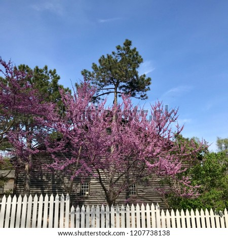 Eastern Redbud tree ( Cercis canadensis )in bloom, pink flowers, with barn structure in background and white pine tree with blue sky. White picket fence in foreground. Riverdale Park, Toronto, Ontario #1207738138