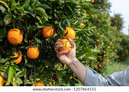 Close up Hand and Oranges in Orange Farm with Beautiful Sunshine #1207864555