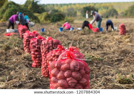 Farm Workers Harvesting Potatoes. Potato Farming. Fresh organic potatoes in the field. Potato field with sacks of potato.  #1207884304