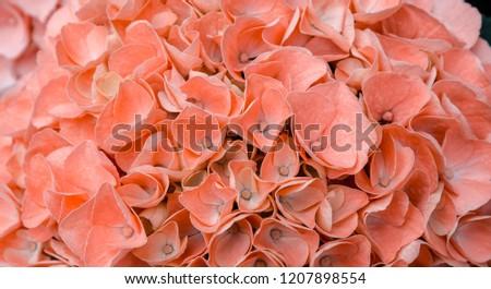 Pink Hydrangea flower #1207898554