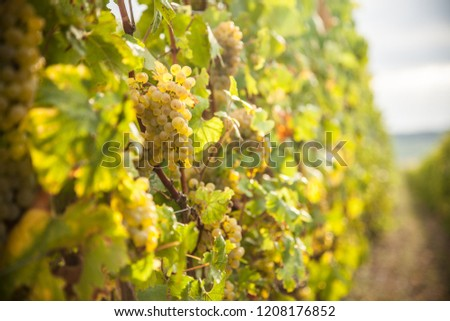 Sunny bunches of white wine grape on vineyard in Alsace, France. #1208176852